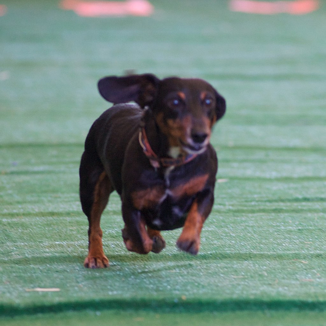 Wiener Dog Races at Oktoberfest Southlake