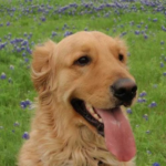 dog with bluebonnets