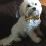 white dog with a bow