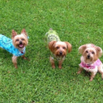 yorkies in the grass