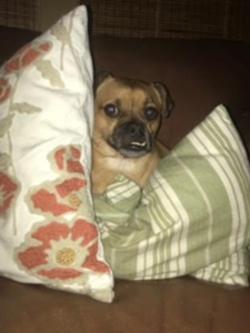 dog behind pillows